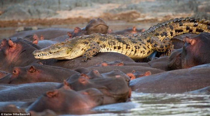 Битва крокодил против бегемотов (5 фото)