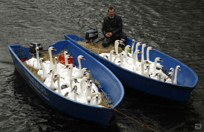 Эвакуация лебедей в Гамбурге (5 фото)