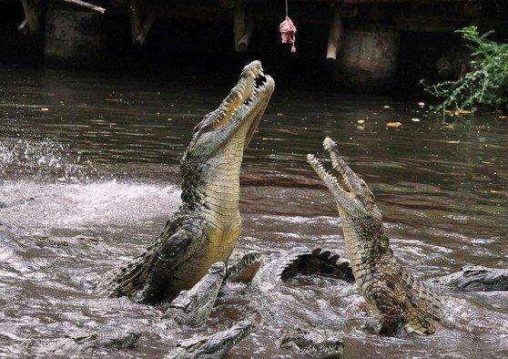 Кормление крокодилов (28 фото)