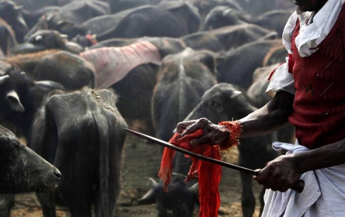 Жертвоприношение животных в Непале (8 фото)