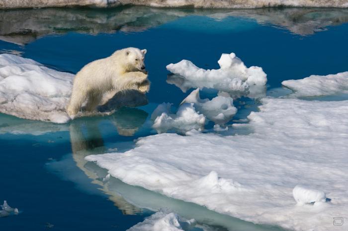 Полярная одержимость Пола Никлена (Paul Nicklen) (9 фото)