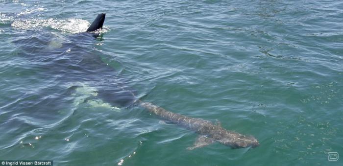 Схватка между акулой и касаткой (4 фотографии)