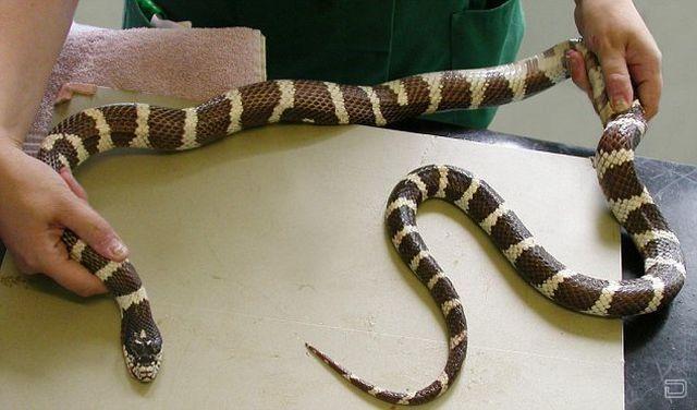 Самая глупая змея в мире (2 фото)