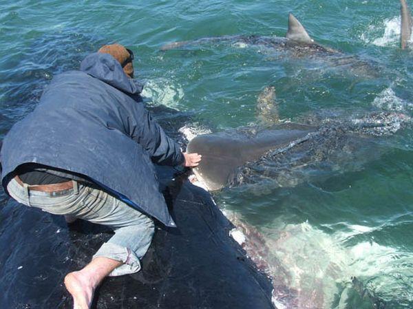 Миф что тигровая акула кровожадный