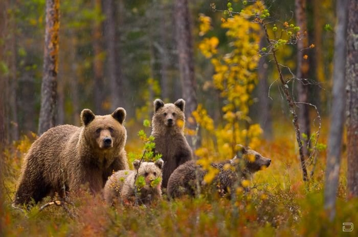 Медвежья семья (20 фото)