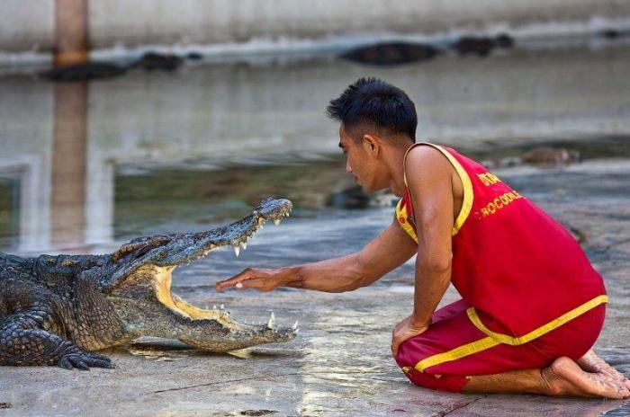 Уникальное шоу крокодилов (21 фото)