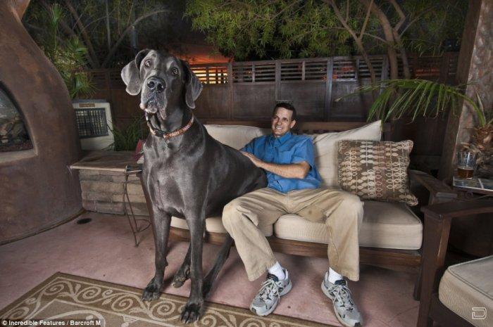 Возможно, это самая большая собака в мире