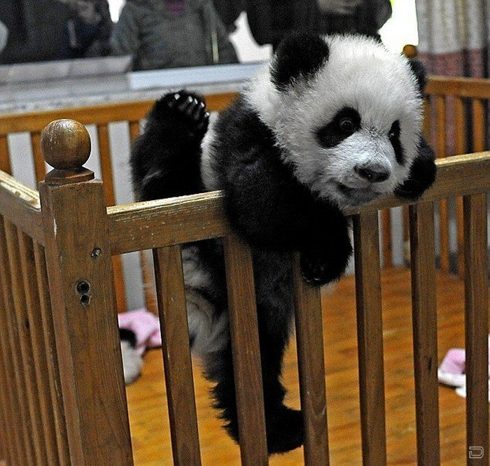 Неудавшийся побег маленькой панды (8 фото)