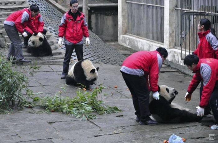 Переезд панд (8 фото)