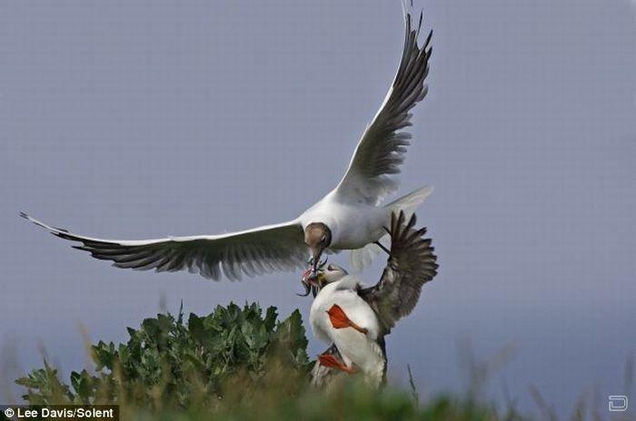 Нападение чайки