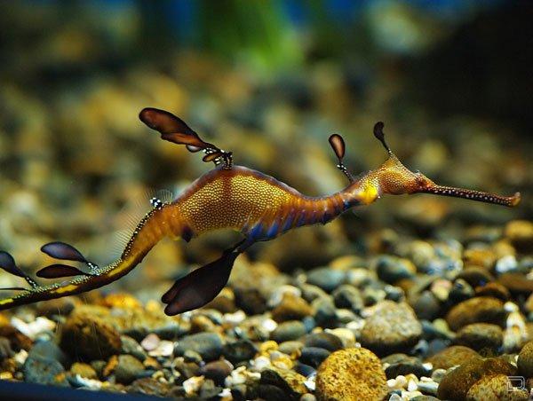 Подборка фотографий морских драконов