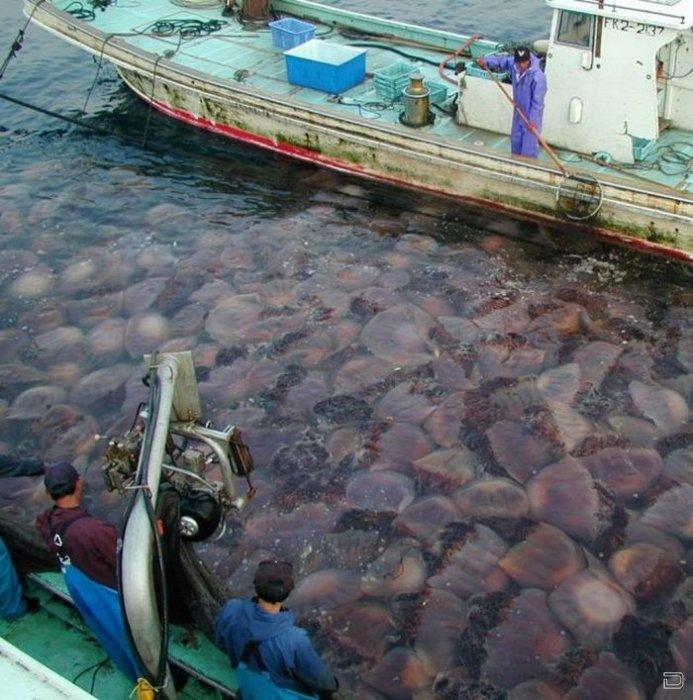 Нашествие медуз в Японии (10 фото)