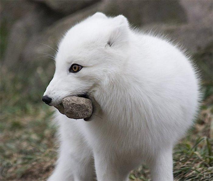 Арктическая лисица или песец