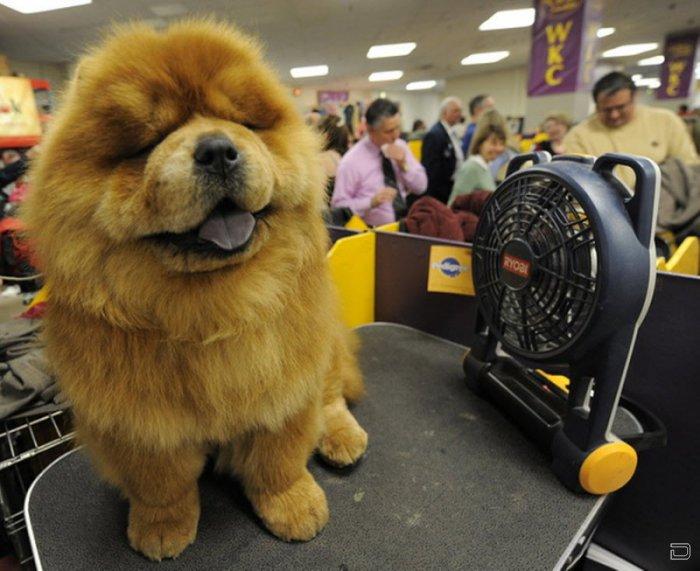 Престижная выставка собак в Нью-Йорке