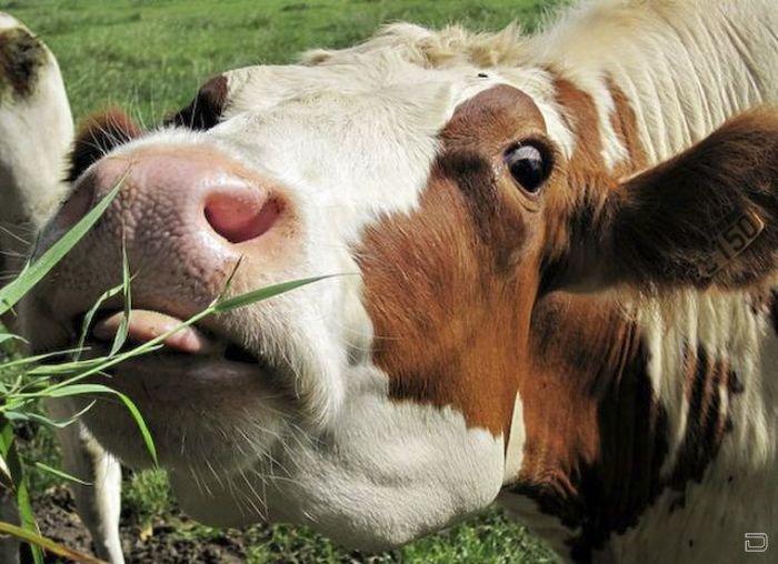 Картинки смешные коров, земляникой лесной открытки