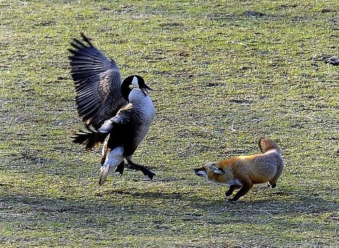Охотница лиса и гуси