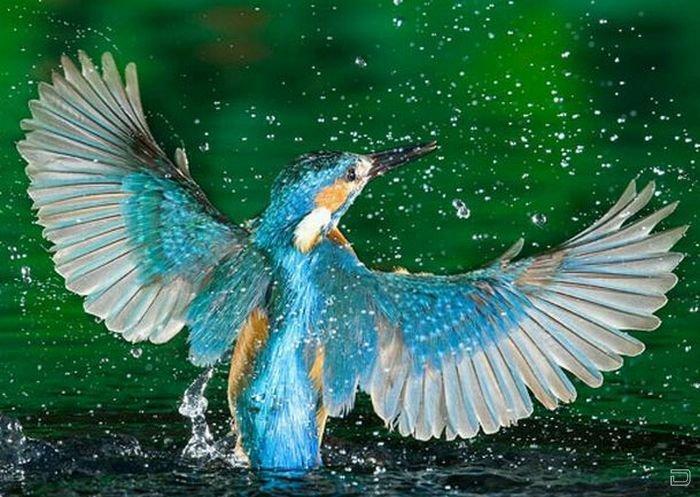 Удивительные снимки зимородка во время охоты за рыбой (15 фото)