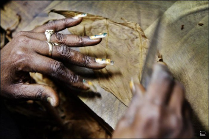 Производство самых дорогих кубинских сигар (17 фото)