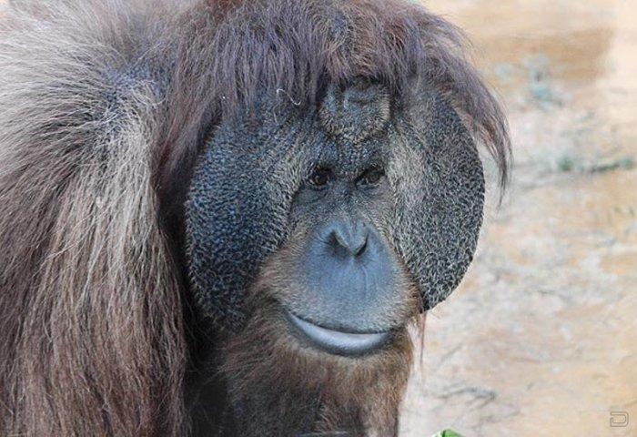 Басня про орангутангов и орехи