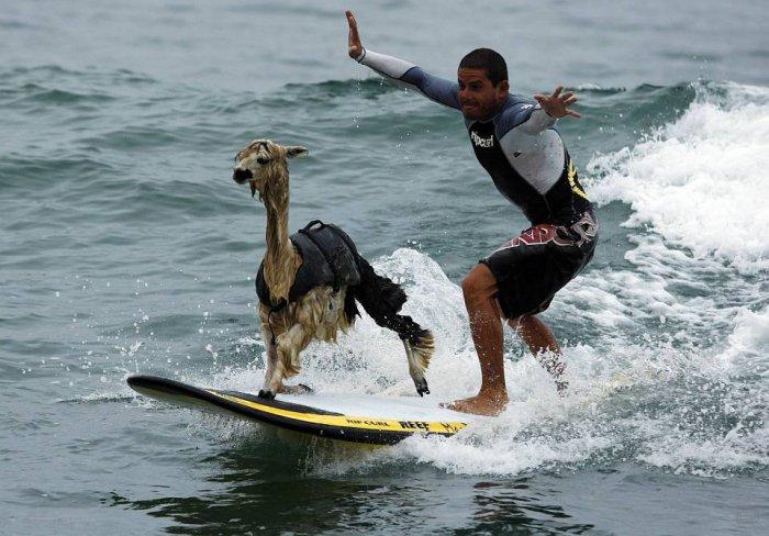 Серфинг с альпаку (9 фото)