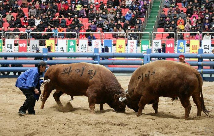 Бои быков в Южной Корее