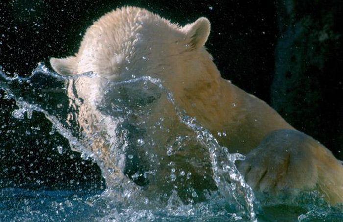 Звезда зоопарка - белый медведь Уилли (12 фото)