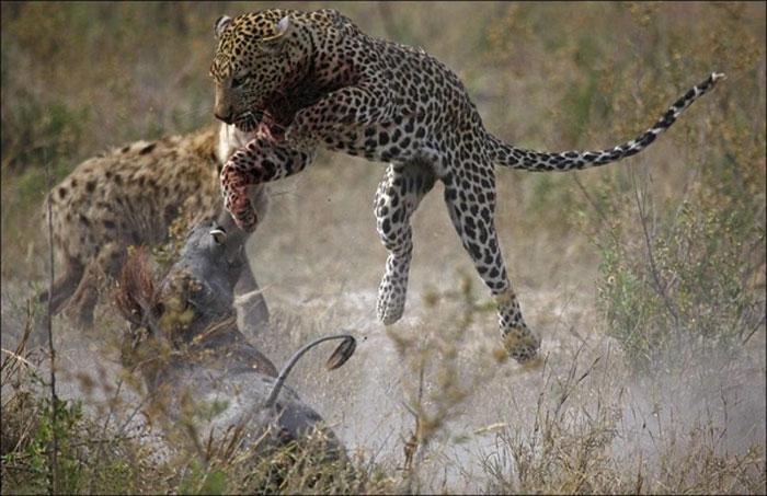 Гиена, леопард и бородавочник (4 фото)