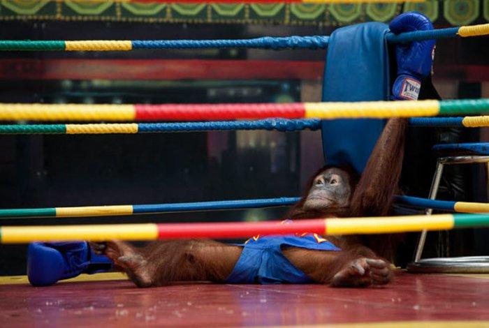 Поединок между орангутангами-боксерами