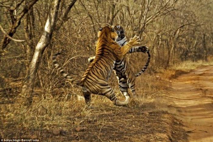 Борьба тигров (4 фото)