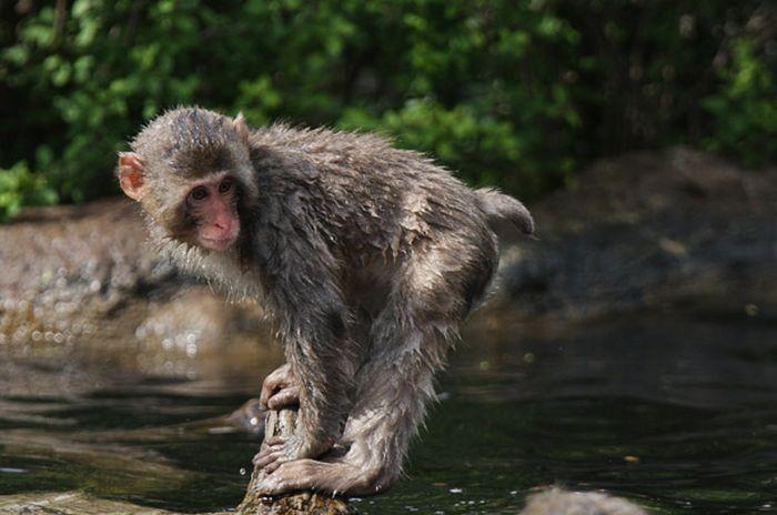 Детеныш обезьянки учится плавать (18 фото)