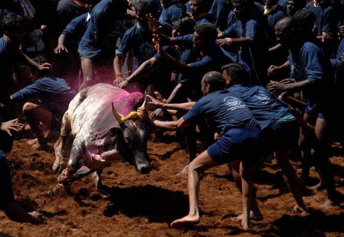 Сражение с быками голыми руками - Джалликатту (12 фото)