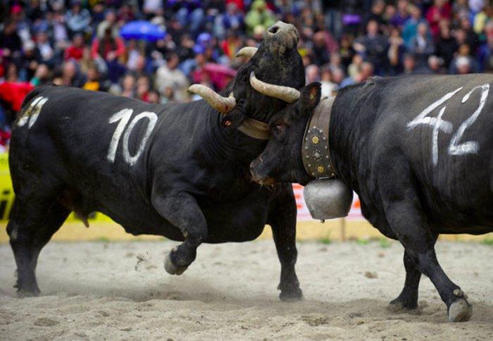 Бой коров в Швейцарском городке Апроз