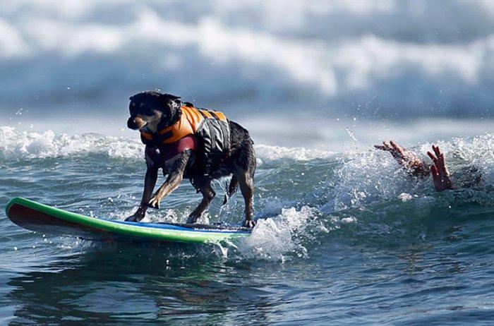 Собачий чемпионат по серфингу