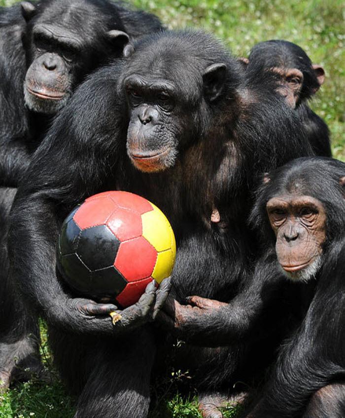 Животные тоже играют в футбол (14 фото)