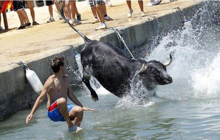 Купание с быками в Испании (25 фото)