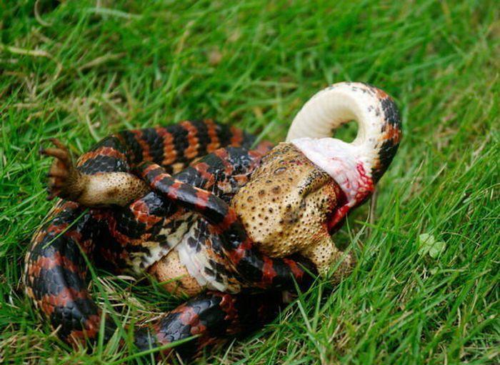 Змея ест лягушку (3 фото)
