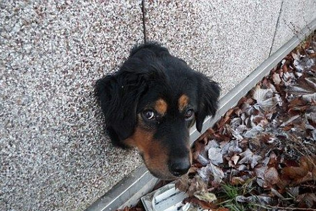 Пес застрял (3 фото)