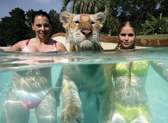 Отважные девушки купаются с тиграми (9 фото)