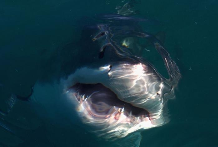 Акула - страшный морской хищник (30 фото)
