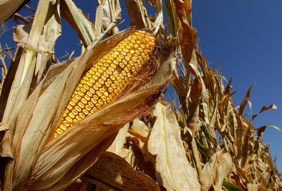 надо картинка кукурузы в жару секрет, что некоторые