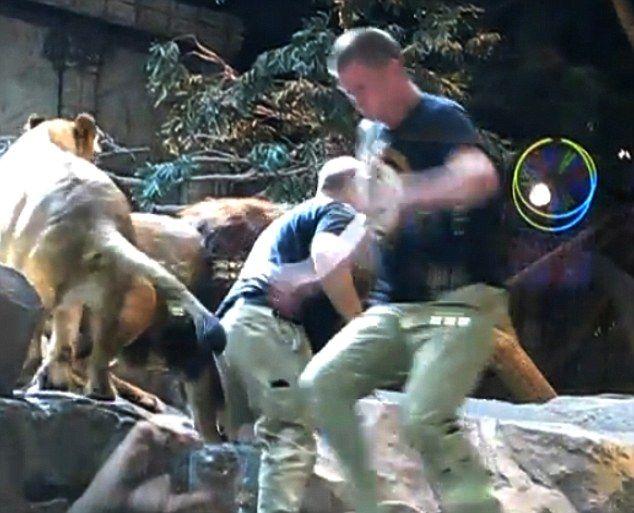 Лев напал на дрессировщика (4 фото + видео)