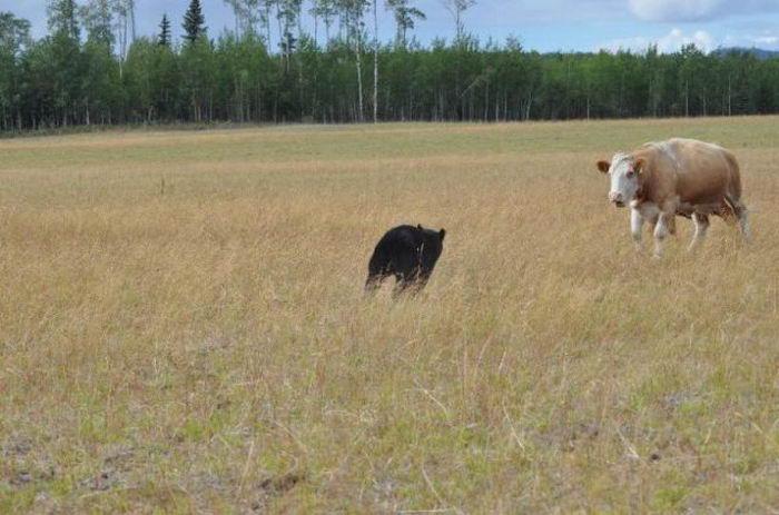 Коровы и  Косолапый  (13 фото)