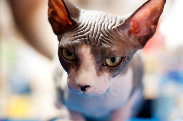 Международная выставка кошек в Израиле