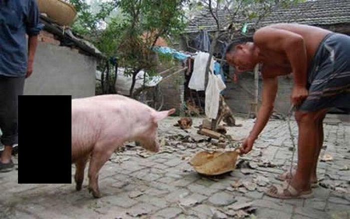 Знаменитая китайская свинья с двумя ногами (3 фото+видео)