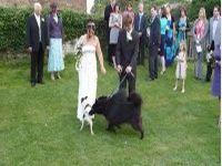 Собака пометила невесту