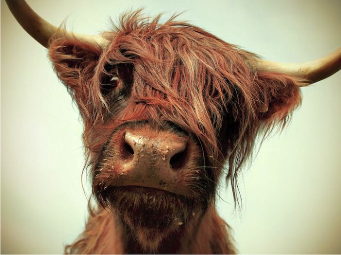 Картинка быка прикольная, открыток
