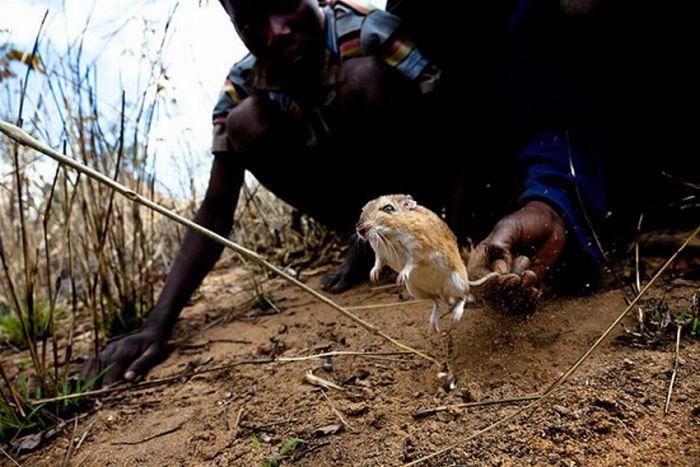 Африканские крысоловы