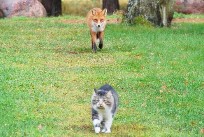 Голодная лиса и кот