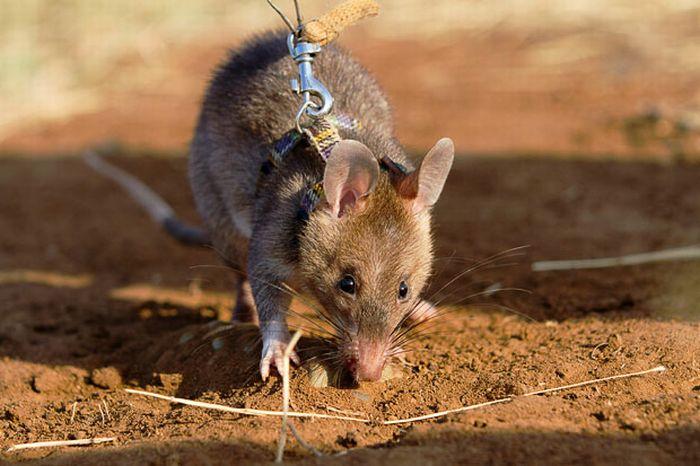 Крысы-саперы (13 фото)