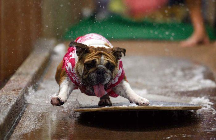 Забавные конкурсы для собак (8 фото)